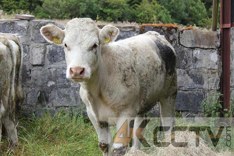 4k-Farming-Cow